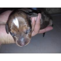 Cachorro Salchicha Mini Dachshund Macho Arlequin Marron