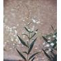 Semilla de Flor Nube