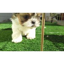 Cachorros Shitzu Registrados Excelente Calidad