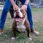Cachorros American Pitbull