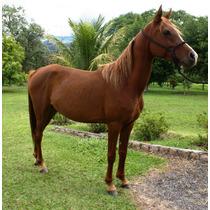 Cavalo ( Égua ) Arabe Puro Sangue Muito Linda