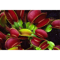 Sementes Planta Carnivora Venus Flytrap Dionaea Muscipula