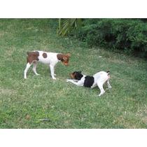 Cachorros Ratoneros Argentinos De Su Creador