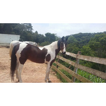 Égua Mangalarga Marchador - Estrela