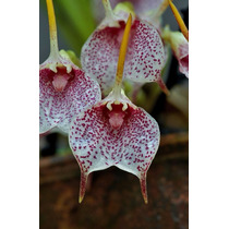 Venta De Orquídeas Masdevalia Floribunda
