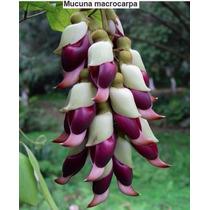 Trepadeira Jade- Mucuna Macrocarpa-exótica99% Sementes
