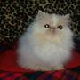 Preciosos Gatos Persas Hembras Y Machos Padres Con Pedigree