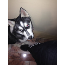 Husky Siberiano Hembra (cachorro) De 5 Meses