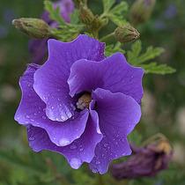 Hibisco Hibiscus Alyogyne Huegelii Sementes Flor Para Mudas