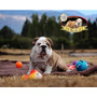 Hermosos Cachorros Bulldog Inglés Con Pedigree Padrecampeón