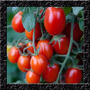 Tomate Uva Vermelho - Cereja Sweet Grape Sementes Para Mudas