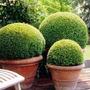 Buxinho Buxus Sempervirens Bonsai Cerca Viva Sementes P/muda