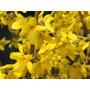 Cultivá Tu Arbusto Forsythia: Están En Flor Ahora!!!!