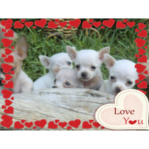 Chihuahuas Blancos Con F.c.a. Pelo Corto Y Pelo Largo Envios