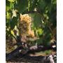 Poster (74 X 91 Cm) Chardonnay Grapes In Vineyard Carneros