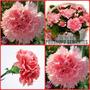 50 Sementes Da Linda Flor Cravo Rosa Vaso Jardim Promoçao!!