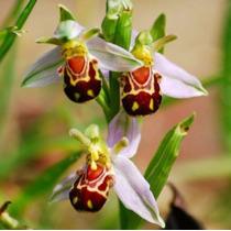 40 Sementes Raras De Orquídeas Abelha +super Brinde