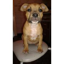 Cachorros American Pit-bull Terrier