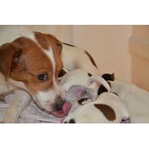 Jaks Russell Terriers Con Chip Y Pedigri Definitivo De Fca