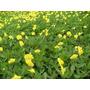 Amendoim Forrageiro - 100 Sementes - Adubação Organica
