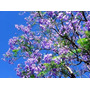 Árbol Jacaranda Mimosifolia Envasado 3.00mts, Ezeiza-envíos