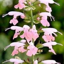 Salvia Coccinea Salmon 10 Semillas Flor Jardín Nmp Sdqro