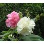 Mudas De Hibisco Multabilis - Rosa Louca Exótica