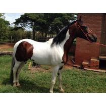 Cavalo Pampa Homozigoto De Marcha Picada