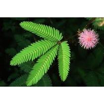 Acacia Sensitiva 8 Semillas Flor Jardín Planta Nmp Sdqro