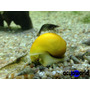 Caracol Manzana Amarillo Elimna Algas De La Pecera_acuaworld