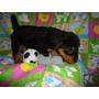 Cachorros Airedale Terrier Gasper Criadero