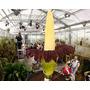 Promoção - Amorphophallus Titanum - Maior Flor Do Mundo