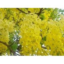 Lluvia De Oro 5 Semillas Árbol Cassia Fistula Nmp Sdqro