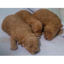 Lindos Cachorritos French Poodle Rojo Y Negro Minitoy