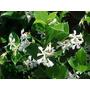 Planta De Jazmin Estrella, Trachelospermum Jasminoides !!