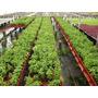 Cultivo De Stevia Rebaudiana, Invernaderos, Agricultores