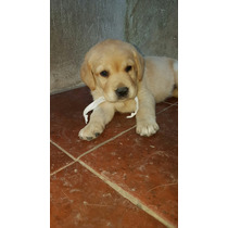 Hermosos Y Puros Cachorros De Labrador Con Pedigree Fca