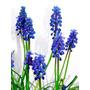 Muscari Planta Flor Azul O Rosa En Maceta