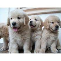 Lindos Filhotes De Golden Retriever, Só Com A Pet Store