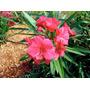 Plantines De Laurel De Flor 3 X 100