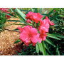 Plantines De Laurel De Flor 3 X 100 - Cañuelas