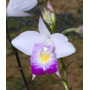 Muda De Orquídea Arundina Bambusifolia Hybrida - 10 A 20cm
