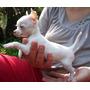 Cachorra Chihuahua--hembrita--blanca--45dias--pedigree F.c.a