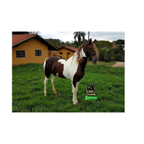 Cavalo Garanhão Mangalarga