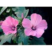 Malva Rosa 8 Semillas Solo Mercadopago Nmp Sdqro