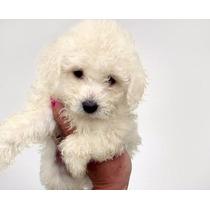Caniche Mini Micro Toy Blanco Cachorro 12 Cuotas (consulte)