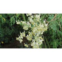 Árvore Moringa Oleífera - Kit 100 Sementes