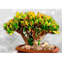 Sementes Planta Jade Suculenta Crassula Ovata P/ Mudas Flor
