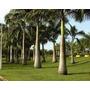 Mudas De Palmeira Imperial (50 Mudas 1,5 Mt Frete Grátis)