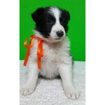Cachorros Border Collie Ultimo!!!